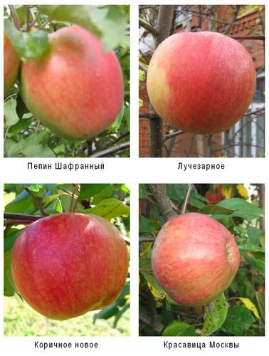 О яблоне Красавица Москвы: описание и характеристики сорта, уход и выращивание