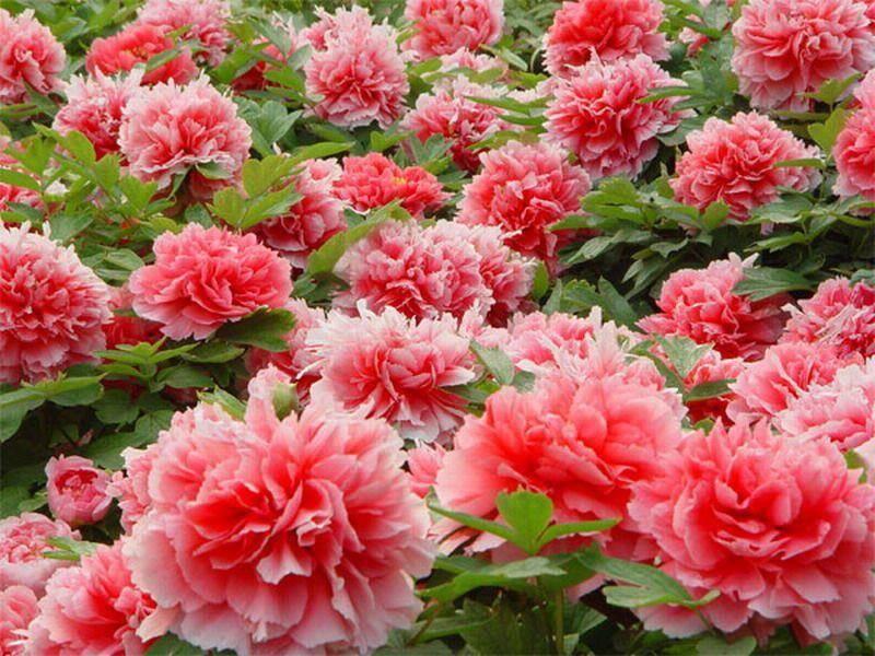 Когда пересаживать пионы — весна, лето или осень: 5 правил ухода после пересадки