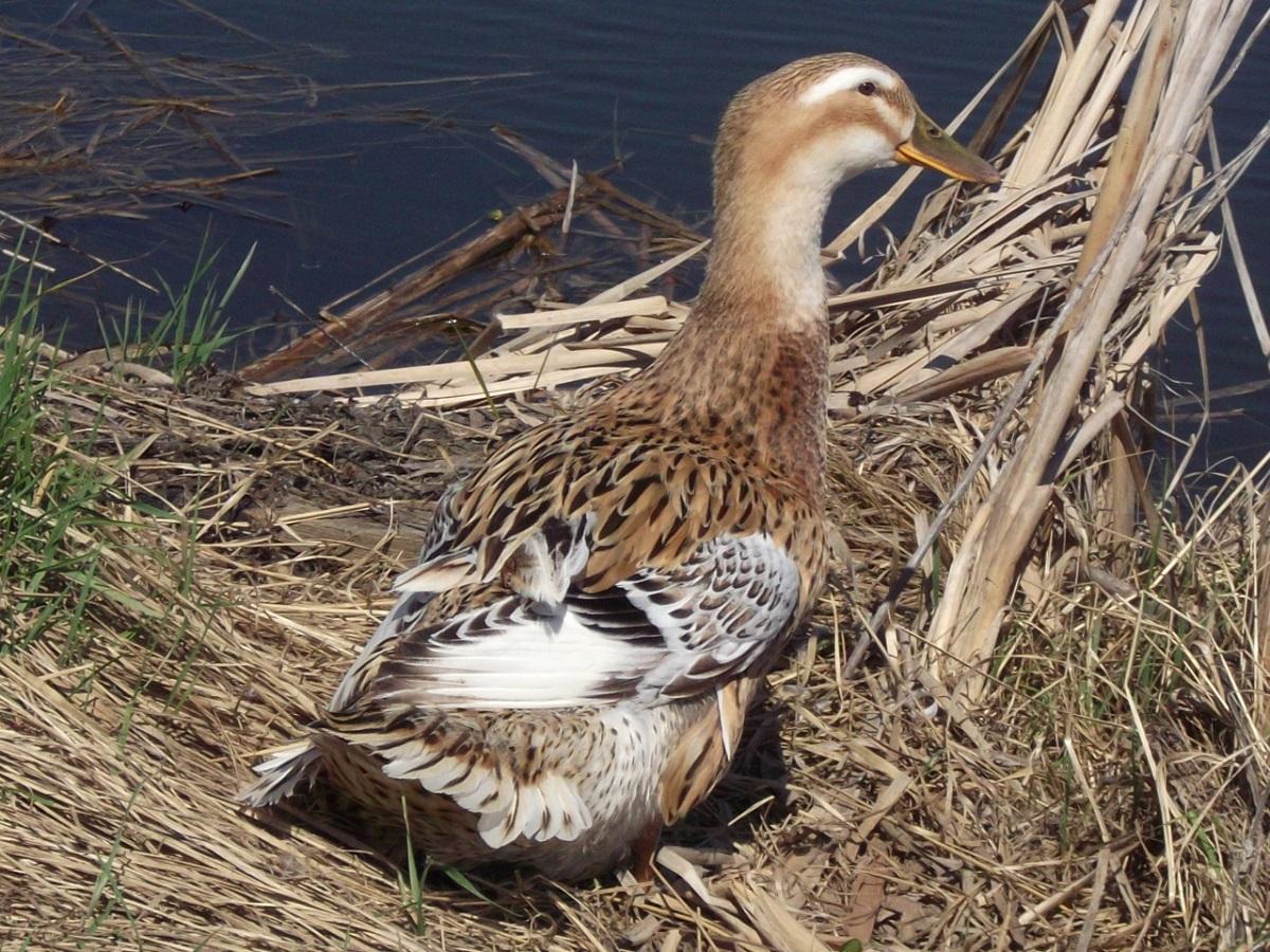Утки агидель: описание породы и выращивание