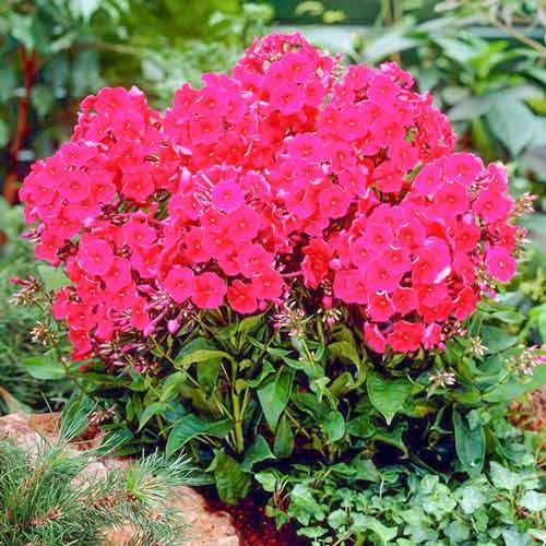 Флокс метельчатый (phlox paniculata) - уход, размножение, подкормки   сажаем сад