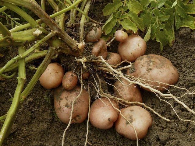 Проращивание картофеля перед посадкой - 5 лучших способов + инструкции!