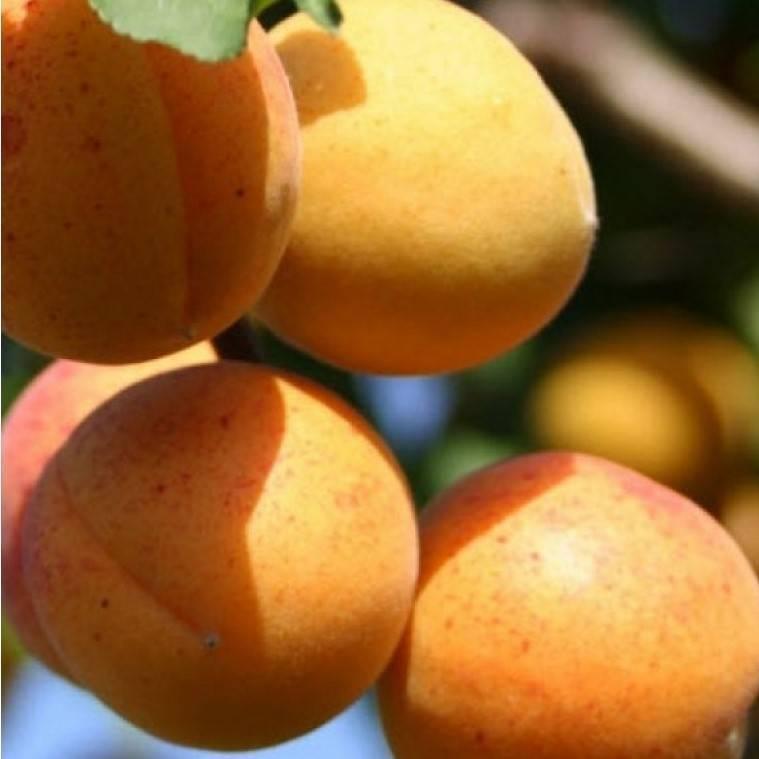 Характеристики сорта абрикосов десертный, описание регионов выращивания и опылителей
