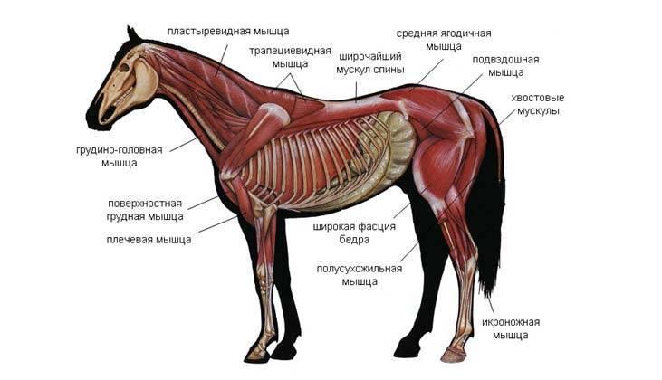 Экстерьер и учение об оценке лошади