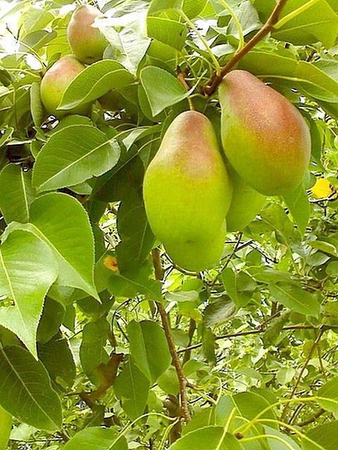 Характеристика и выращивание сорта груши талгарская красавица