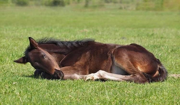 Как спит лошадь: лежа, стоя или на боку, интересные особенности сна животного