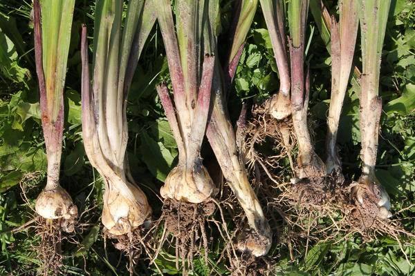 Гладиолусы – уборка и хранение луковиц до посадки