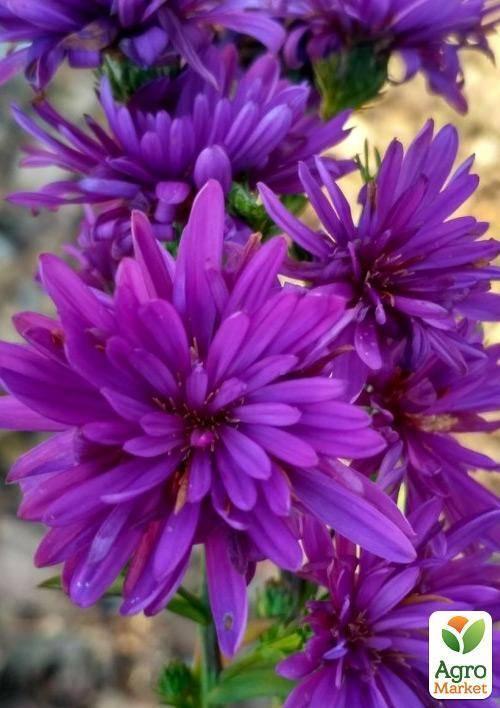 Астра новобельгийская: описание, посадка и уход. астры: выращивание из семян - когда сажать?