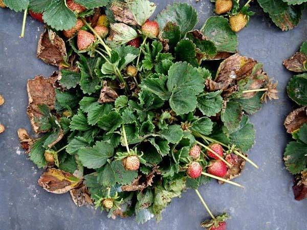Листья клубники чернеют и сохнут что делать. почему желтеют, чернеют, сохнут листья, края листьев, бутоны, ягоды у недавно посаженной клубники, земляники, виктории на грядке: болезни, лечение