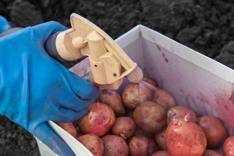 Подготовка картофеля к посадке: как получить большой урожай