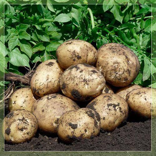 Картофель «гала»: описание сорта, фото, отзывы