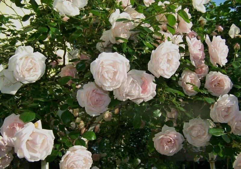 О розах клаймберах: описание сортов плетистой розы (Голден и Оранж)