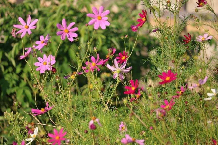 Цветок космея: подробная инструкция по выращиванию