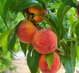 Основные вредители персика, способы борьбы с ними