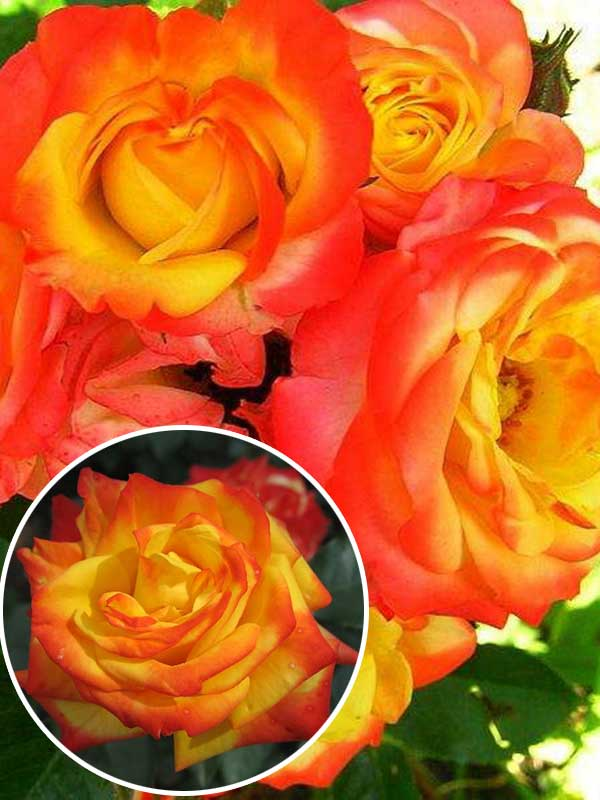 Роза помпонелла - описание сорта, особенности агротехники   о розе