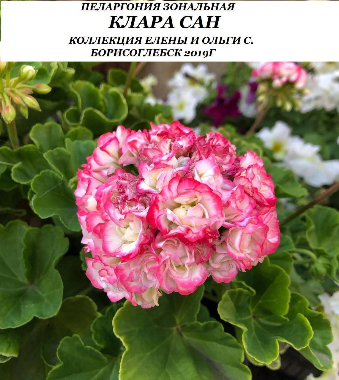 Пеларгония клара сан: описание и особенности вида, нюансы ухода и размножения, советы любителям