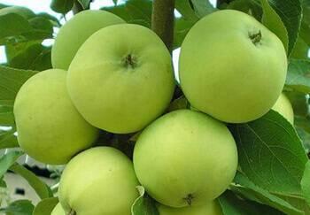 Устойчивая к парше летняя яблоня жилинское