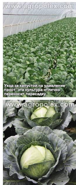 Капуста доброводская: особенности и характеристика сорта, выращивание и уход