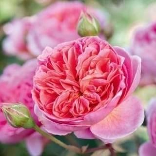 О розе боскобель (boscobel): описание и характеристики сорта роз остина