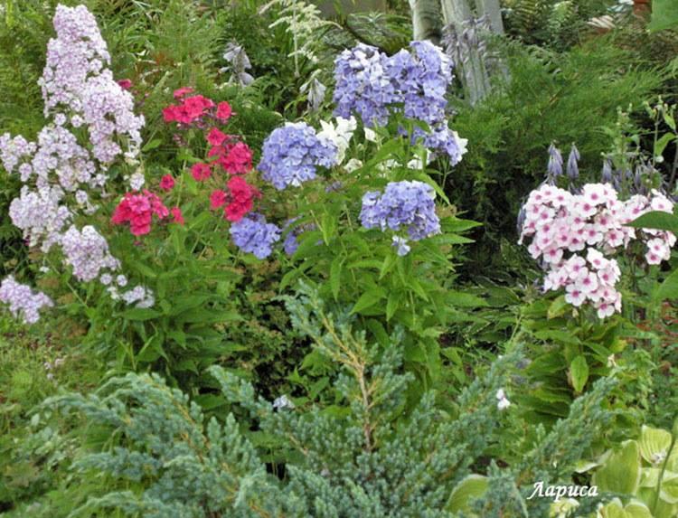 Чем подкормить флоксы в июне перед цветением?