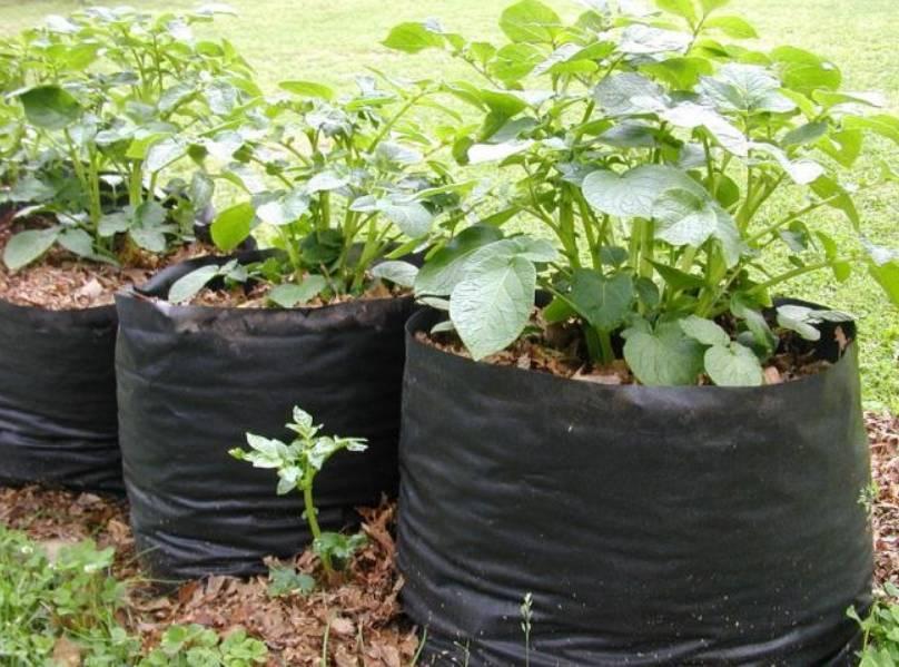 Выращивание картофеля: способы, технологии, советы