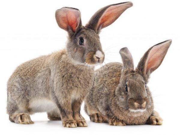 У кролика болит ухо 1 ухо повисло чем лечить