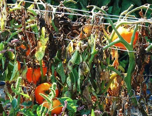 Болезни томатов в теплице и открытом грунте: фото, лечение помидоров и профилактика заболеваний