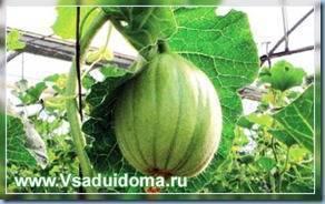 Дыня колхозница: особенности сорта и нюансы выращивания