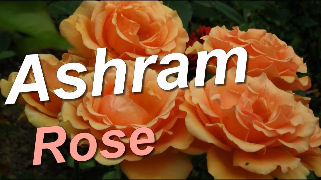 Роза чайно-гибридная осиана - описание сорта и условия агротехники   о розе