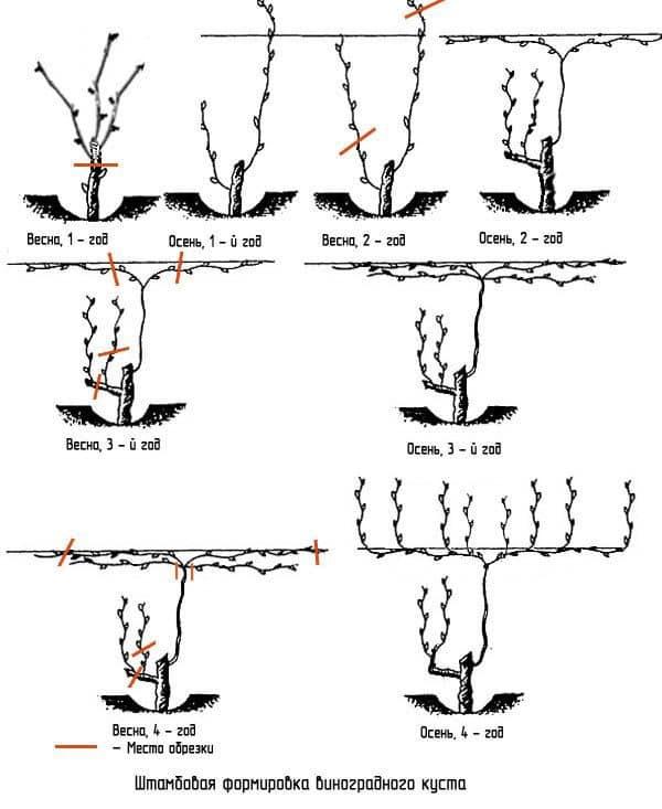 Формирование винограда схема самая простая. как формировать штамбовые кусты винограда на шпалере?