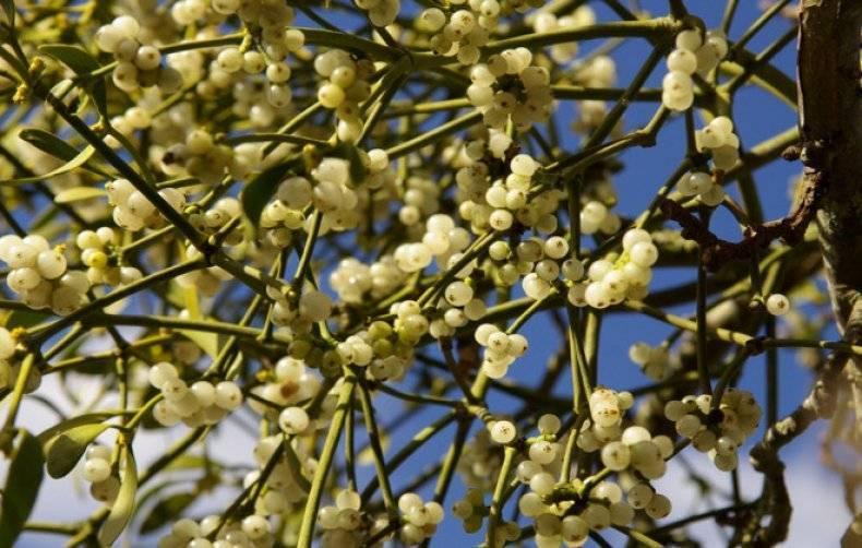 О траве омела белая: как выглядит растение, свойства, где применяется