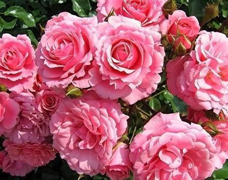 О сортах роз: описание и характеристики, особенности ухода и выращивания