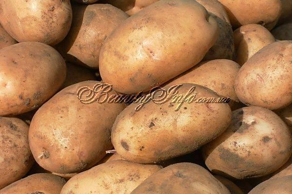 Домашний сорт картофеля «никулинский» : выращивание, описание сорта, характеристика и фото