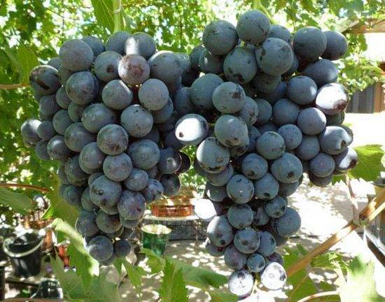 Отзывы о винограде «страшенский» — описание сорта