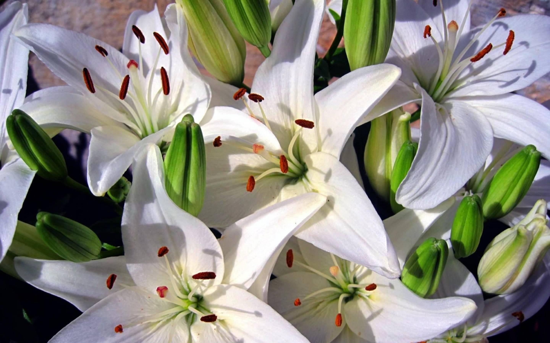 Всё о лилиях: сорта, посадка, уход и выращивание в домашних условиях