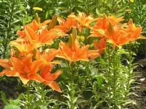 Лилия: цветок королей
