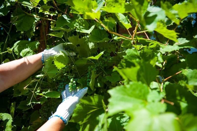 Правильная подрезка винограда или как заставить куст приносить большие урожаи