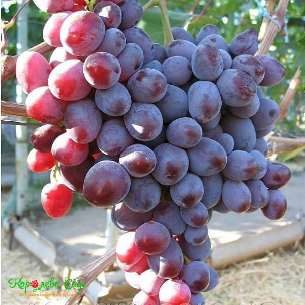 Виноград низина: неприхотливая культура с изумительным вкусом ягод