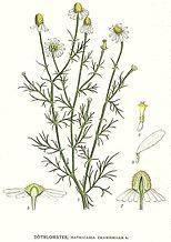 Ромашка пахучая — википедия. что такое ромашка пахучая