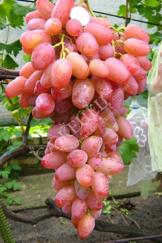 Гелиос виноград — ягоды грибы