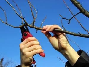 Весенняя обрезка деревьев для начинающих в картинках
