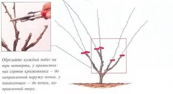 Как обрезать крыжовник весной - полезные советы и хитрости для начинающих