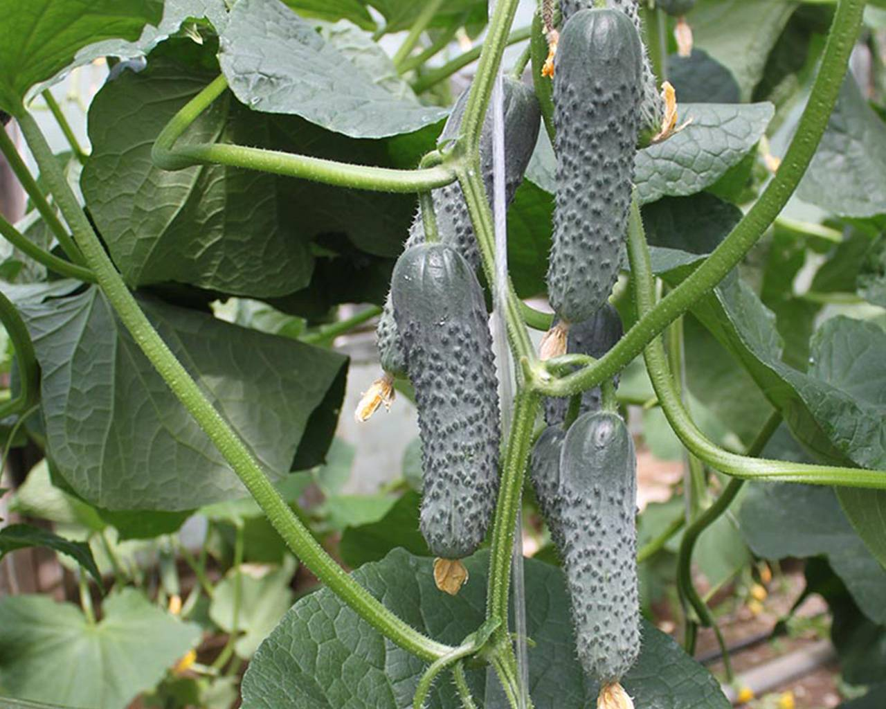 Огурец каролина f1 — описание и характеристика сорта