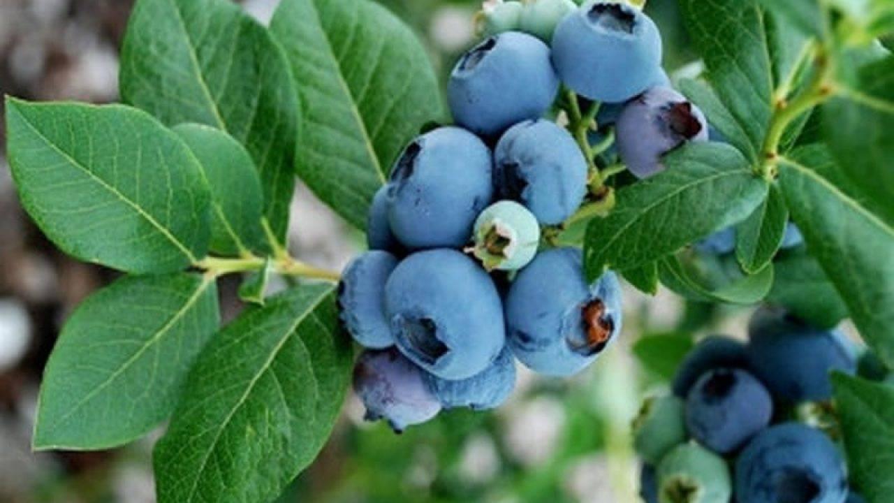 Голубика садовая посадка и уход, фото и описание сортов