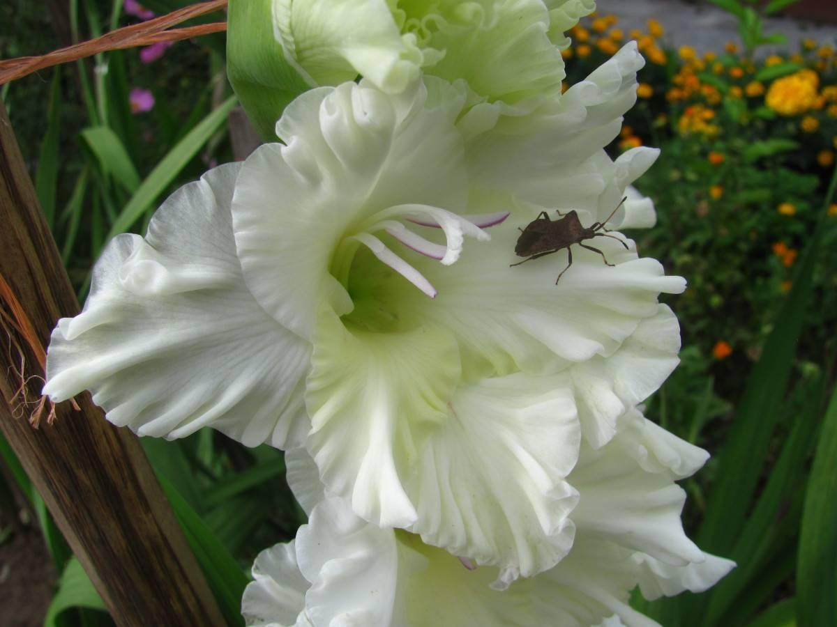 Как правильно посадить гладиолусы весной: секреты посадки и ухода, сроки посадки