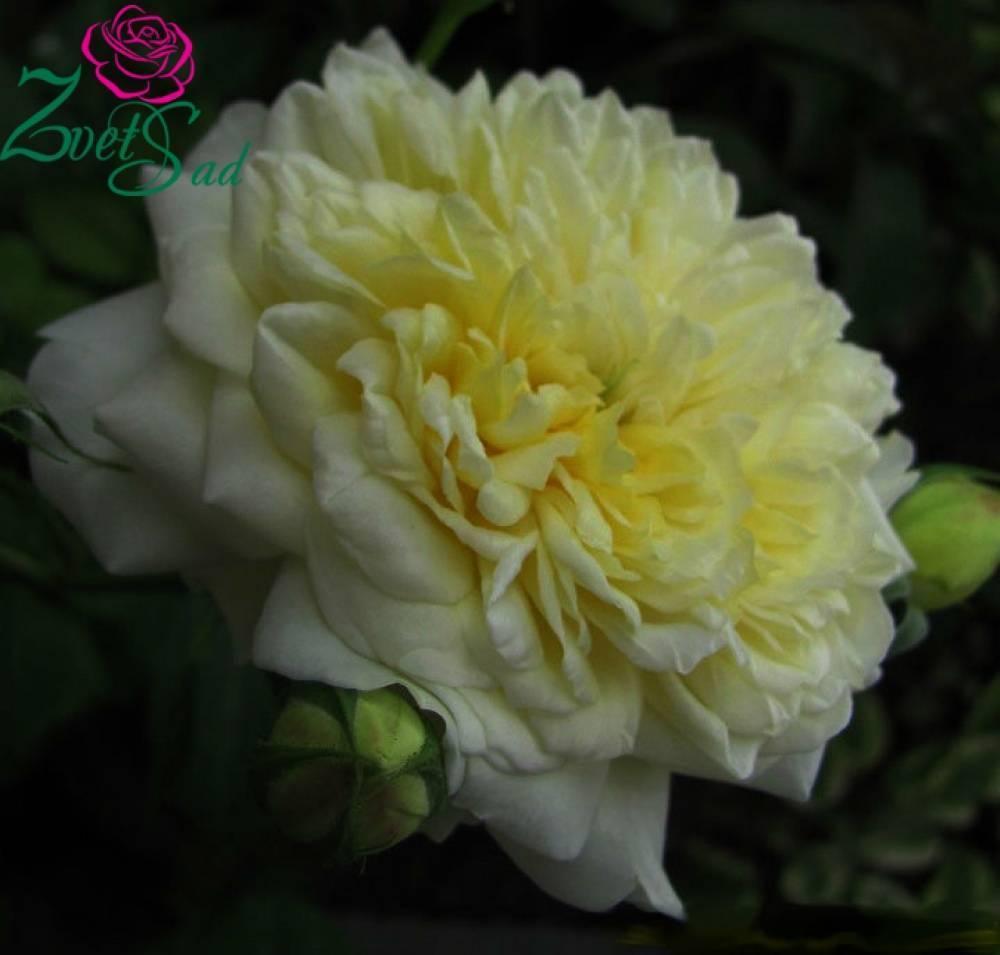 Роза джаз (jazz) — характеристики сортового кустарника