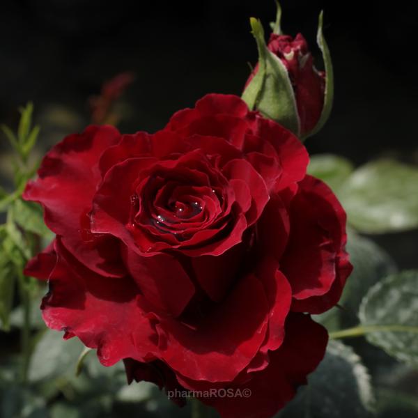 Великолепное украшение для сада: сорта чайно-гибридных роз с описанием и рекомендации по их выращиванию