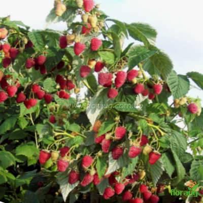 Малиновое дерево таруса - запись пользователя ирина (theory) в сообществе сад, огород в категории кустраники и плодоносные деревья. - babyblog.ru
