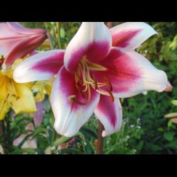 О тюльпановидной лилии эприкот фадж (описание и характеристики гибрида)