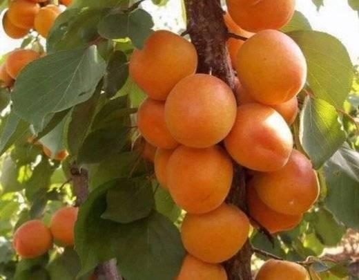 Абрикос 'лель' — википедия. что такое абрикос 'лель'