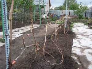 Весенние работы с виноградом: первая обработка и подвязка, подкормки и защита от заморозков